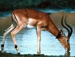 Un impala bebiendo agua