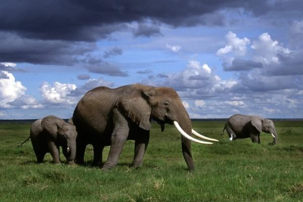 Elefantes africanos caminando sobre la hierba