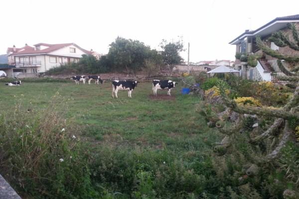 Vacas lecheras en un prado junto a unas casas