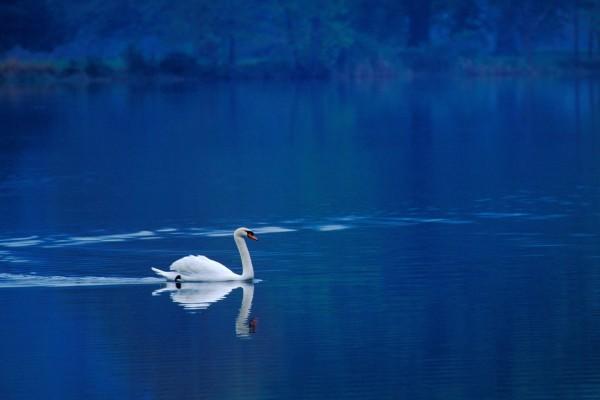 Un solitario cisne en las aguas azules del lago