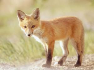 Postal: Un pequeño zorro rojo