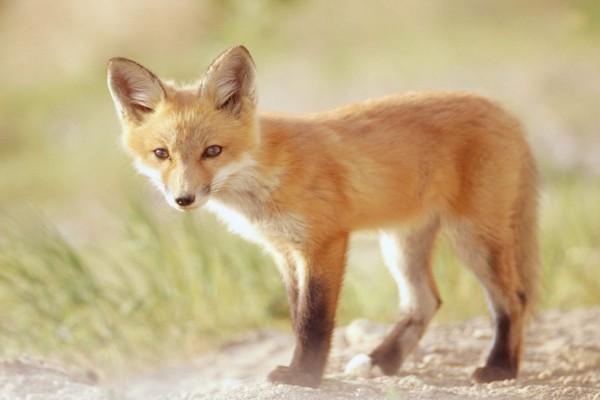 Un pequeño zorro rojo