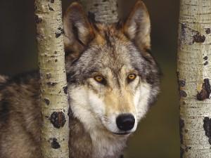 Un lobo observando entre los troncos