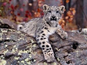 Un joven leopardo de las nieves
