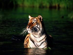 Un tigre dándose un baño