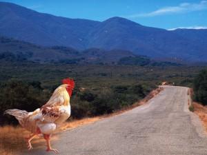 Gallina cruzando una carretera