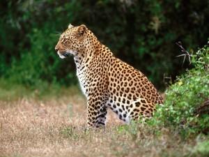 Postal: Un hermoso leopardo