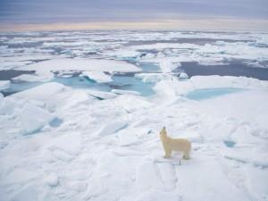 Vista de un oso polar sobre el hielo