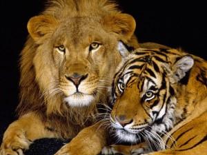 Un león junto a un tigre