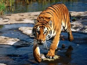 Un tigre caminando por el agua