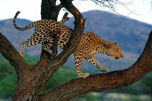 Leopardo caminando por las gruesas ramas de un árbol