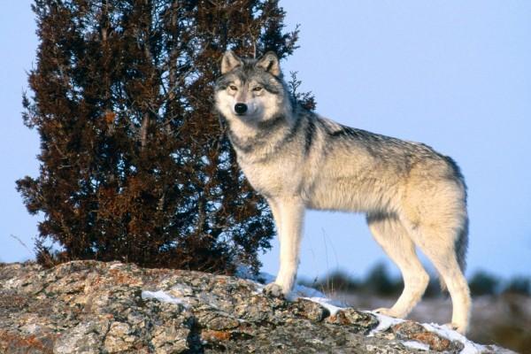 Un lobo subido a una roca