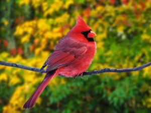 Postal: Un cardenal rojo macho sobre una rama