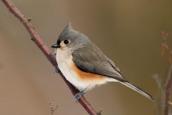 Un bonito pájaro gris sobre una rama