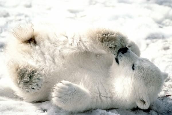 Un pequeño oso polar jugando en el hielo