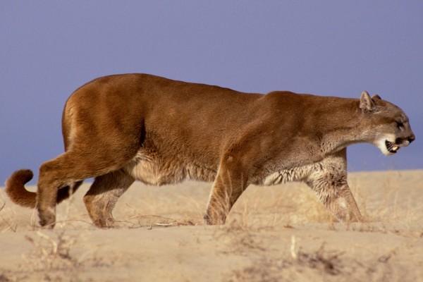 Un solitario puma caminando