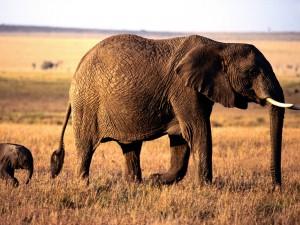 Un pequeño elefante detrás de su madre