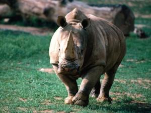 Un gran rinoceronte caminando en la hierba
