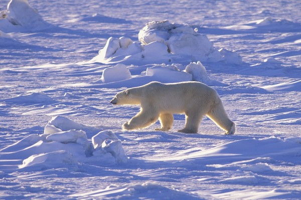 Un oso polar caminando sobre el hielo