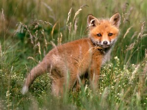 Postal: Un pequeño zorro entre la hierba