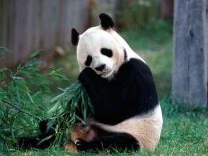 Oso panda comiendo hojas