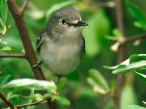 Un pájaro gris posado en una rama