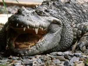 Postal: Cocodrilo siamés (Crocodylus siamensis)