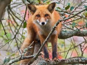 Un zorro rojo subido a un árbol