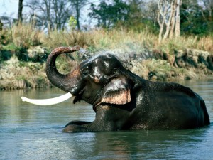 Un elefante indio refrescándose en el agua