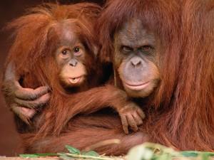 Orangutana protegiendo a su pequeño