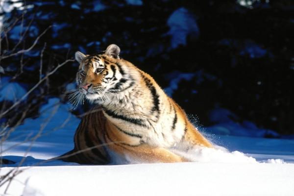Un gran tigre siberiano