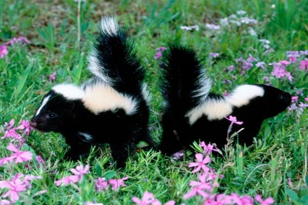 Dos pequeñas mofetas entre las flores