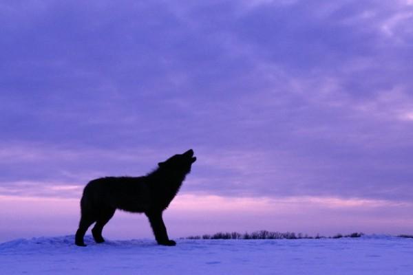 Lobo aullando sobre la nieve al anochecer