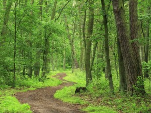 Camino en el bosque con grandes árboles a su alrededor