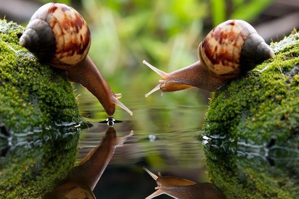 Dos caracoles tomando agua
