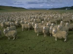 Postal: Un gran rebaño de ovejas