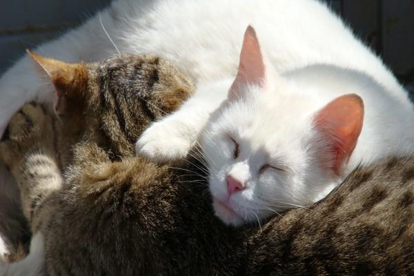 Un gato pardo y un gato blanco durmiendo juntos