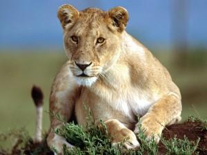 Una leona tumbada sobre las plantas