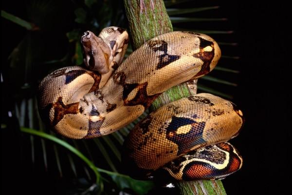 Boa constrictor enrollada en un tronco