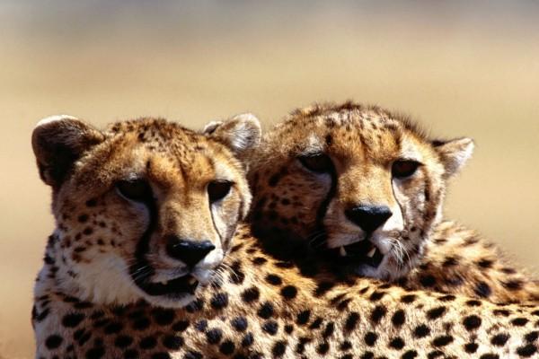 Dos guepardos enseñando los colmillos