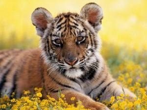 Un pequeño tigre sobre las flores amarillas