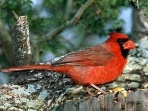 Postal: Un cardenal rojo