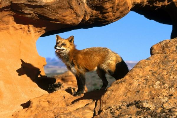 La sombra del zorro en la roca