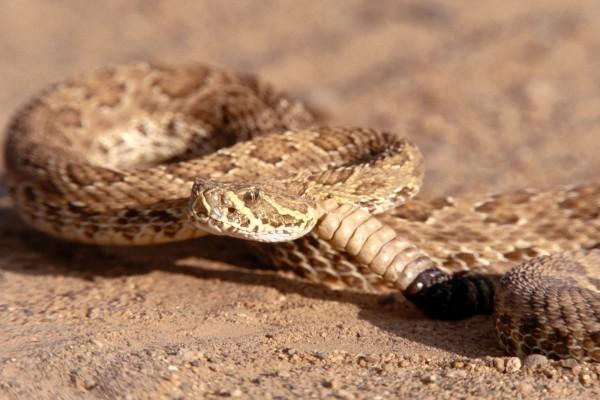 Serpiente de cascabel en la arena