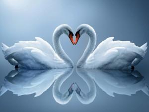 Postal: Reflejo de dos cisnes formando un corazón