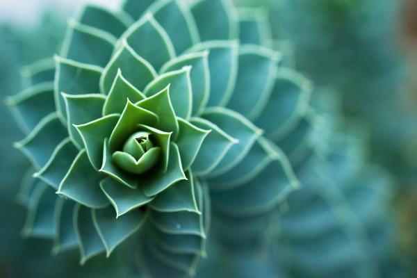 Planta con pequeñas hojas en espiral