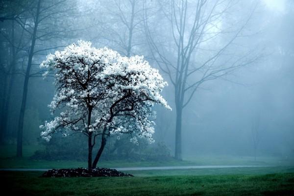 Niebla próxima al árbol de flores blancas