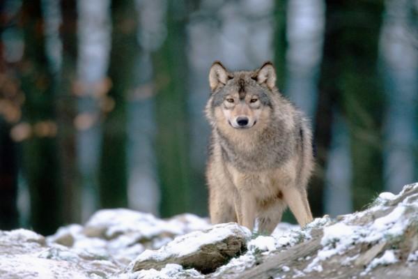 Un lobo sobre unas piedras con nieve