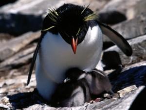 Postal: Pingüino de penacho amarillo con sus polluelos