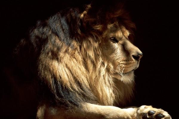 Un gran león en la sombra